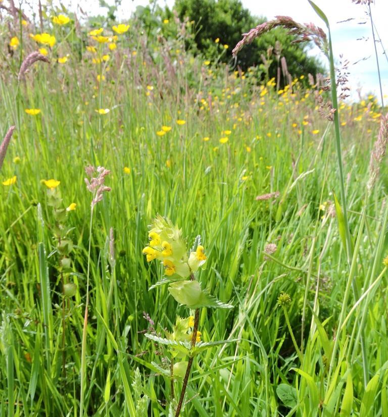 yellow-rattle-millbrook